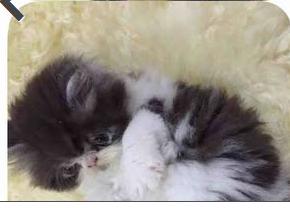 حراج القطط لبيع قط شيرازي باندا جميل ومميز  في الدمام 114
