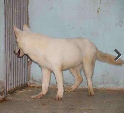 للبيع كلب ذكر جيرمن في جدة  115