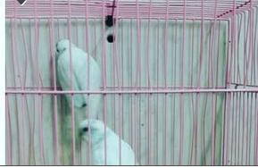 حراج الطيور جوز حب هولندية للبيع 117