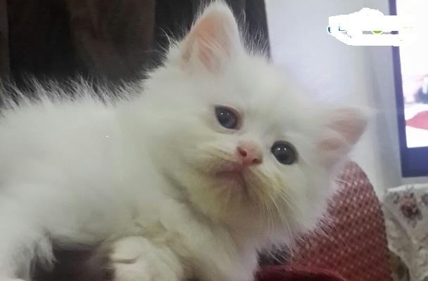 اربع قطط للبيع شيرازي هيملايا  123