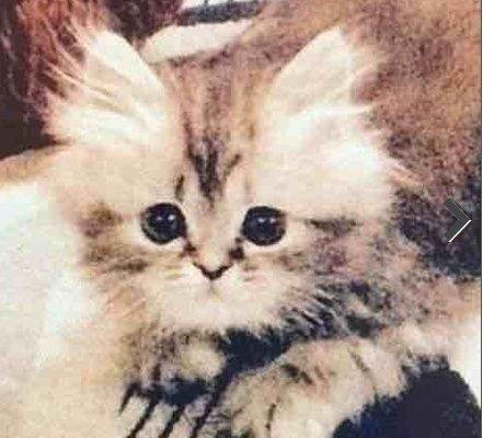 قطه  شيرازية  هاف بيكي للبيع مع جميع أغراضها 137