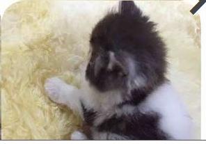 حراج القطط لبيع قط شيرازي باندا جميل ومميز  في الدمام 211