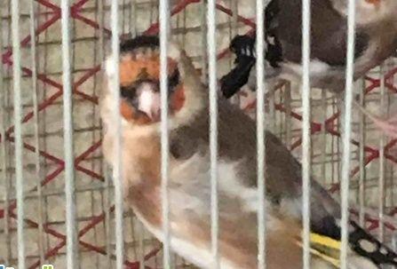 حراج الطيور للبيع أنثى حسون سوري في صحة سليمة في جدة  236