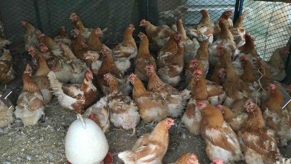 يوجد دجاج تركي بياض للبيع 5511