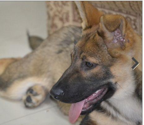 كلب  بوليسي الماني  للبيع 614