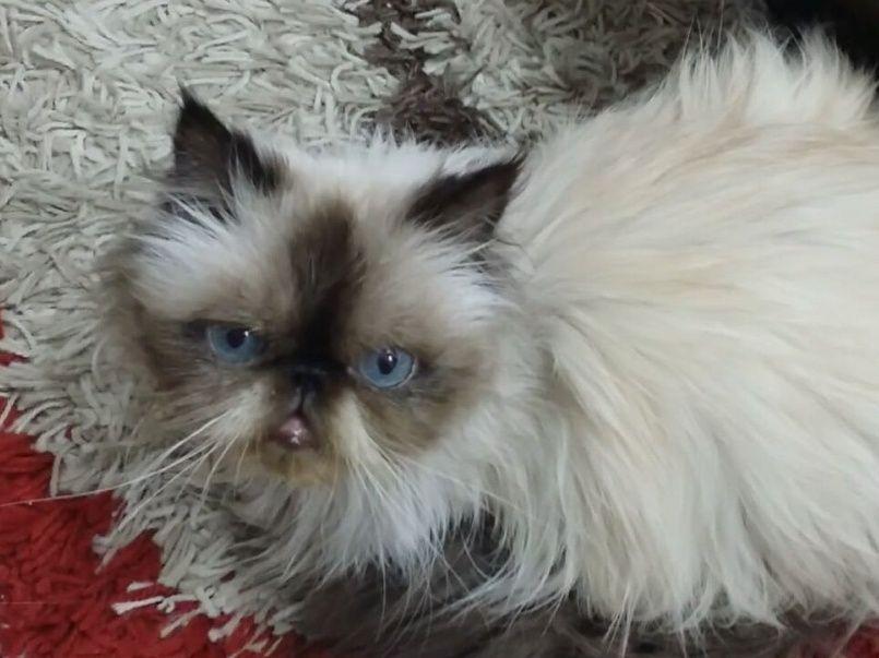 أنثى بيكي فيس   قطط هملايا بيكي فيس للبيع حراج Aa10