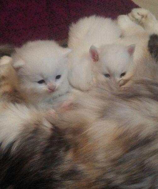 قطة شيرازية وصغارها للبيع حراج Aa12