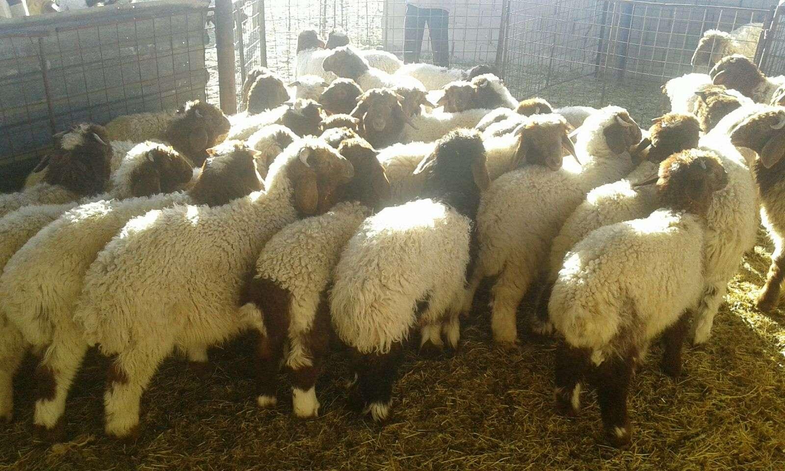 45 راس طليان للبيع Img-2012