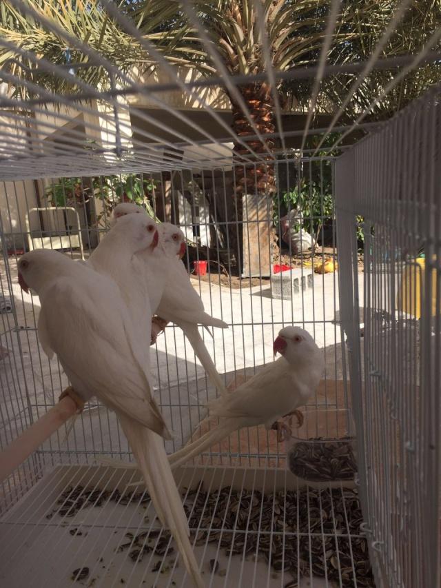 طيور درة البينو للبيع  P_79jn10