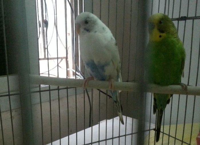 للبيع زوج طيور بادجي باكستاني  Ww10