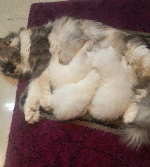 قطة شيرازية وصغارها للبيع حراج Zz11