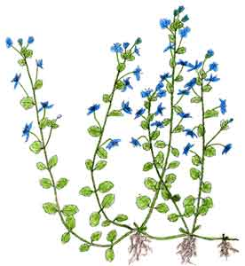 Identification plante Veroni11