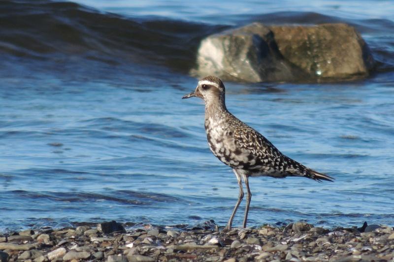 Pluvier bronzé - explication plumage Dscn7610