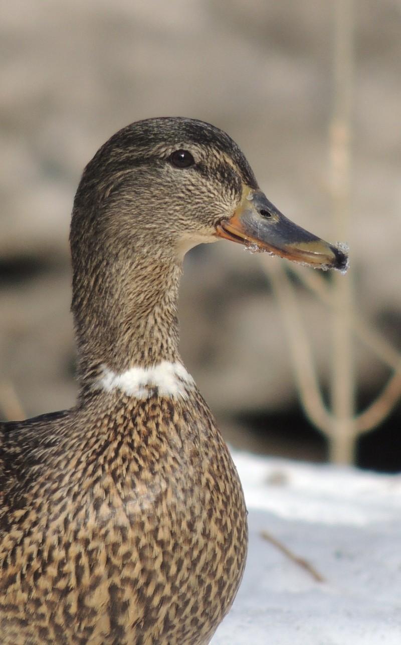 canard colvert - femelle Dscn8110