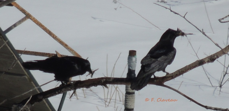 Grands Corbeaux - et la nidification Dscn8111