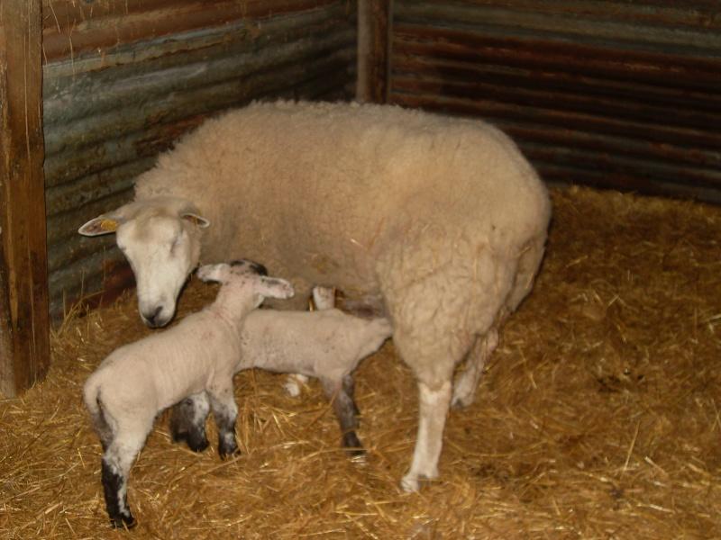 voici quelque photo de mes brebis et leurs bébés Sdc14111