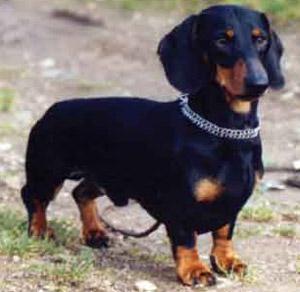 Le chien de Nicolas Sarkozy nommé à la tête de la S.P.A Teckel10