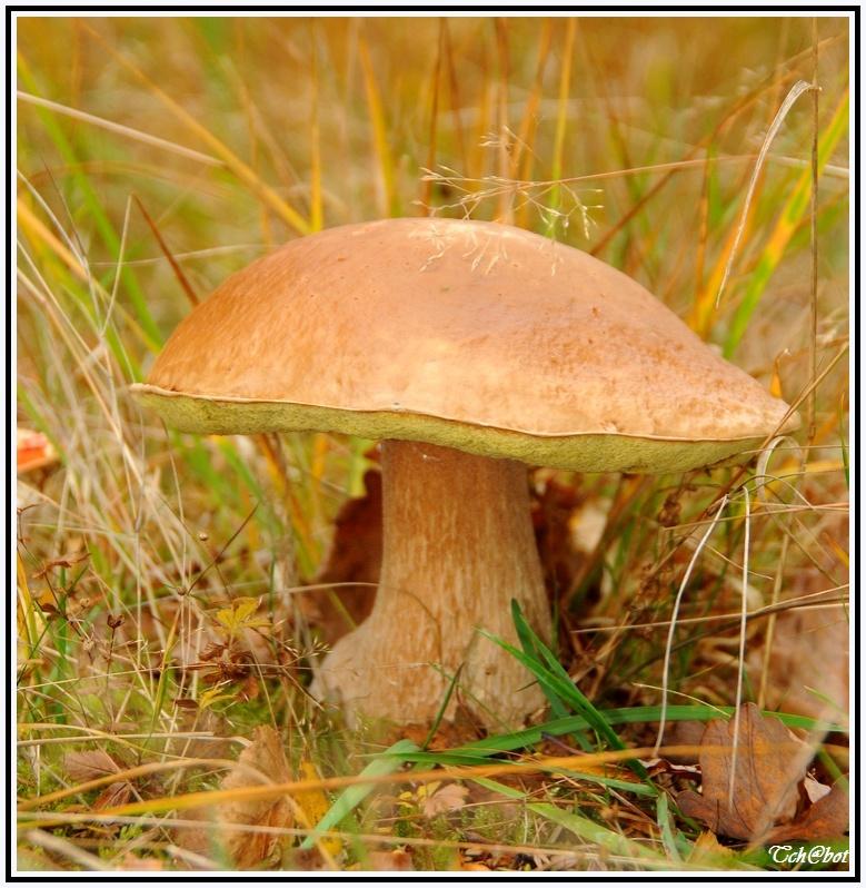 champignon Sans_t19