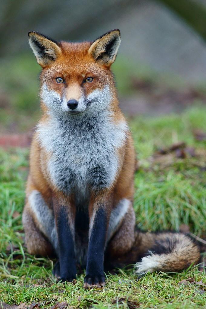 les renards  - Page 3 Fox_st10