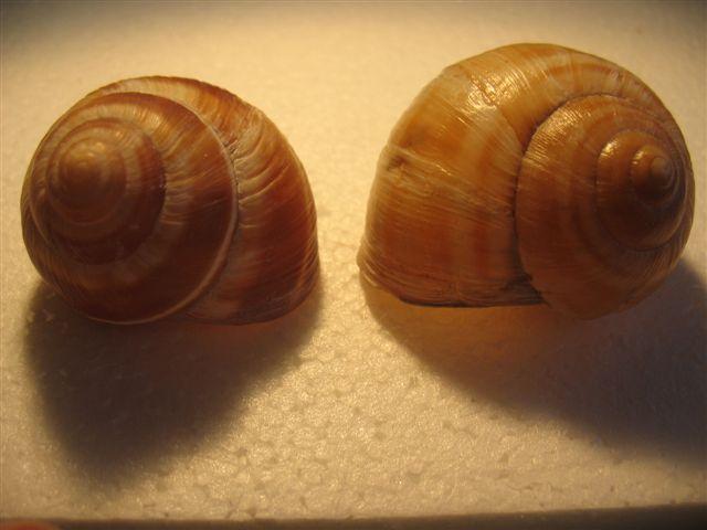 Escargots du Vaucluse Escarg10