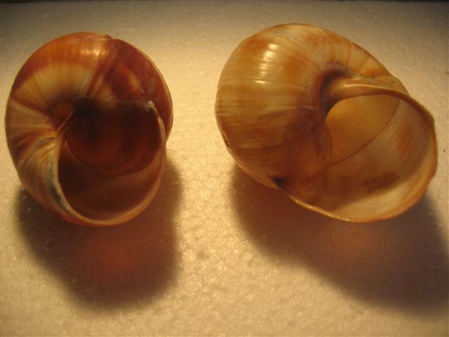 Escargots du Vaucluse Escarg11