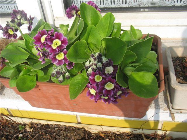 Les premières fleurs de mon balcon Fleurs19