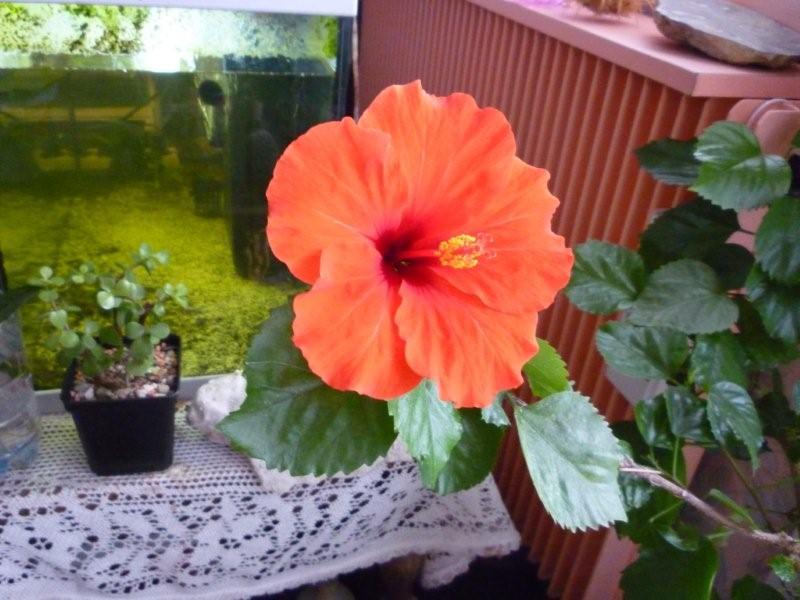 Mon Hibiscus en fleur Fleurs48