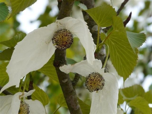 Famille de l'arbre aux mouchoirs Img20510