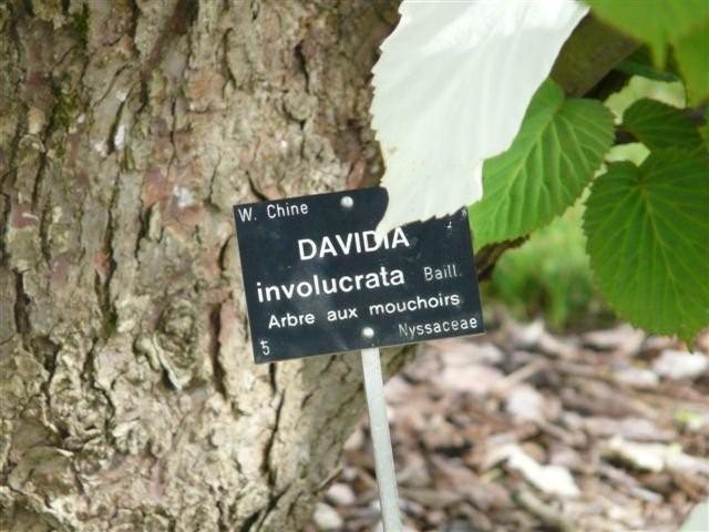 Famille de l'arbre aux mouchoirs Img20810