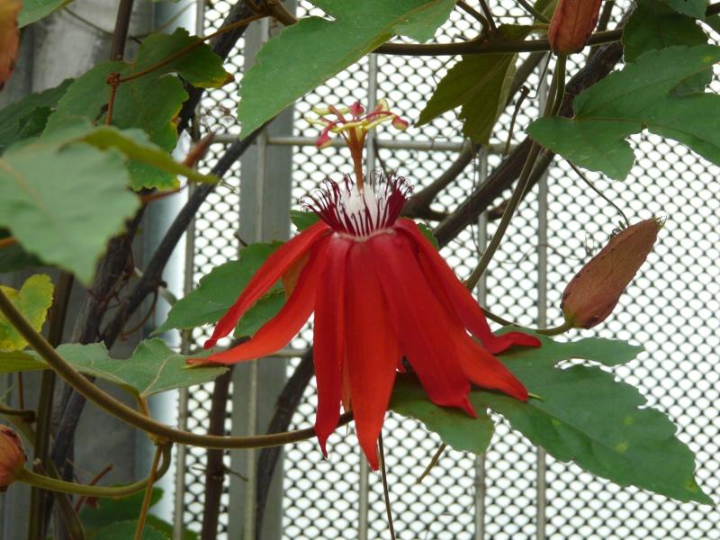 Passiflora du Jardin Bota. Jardi140