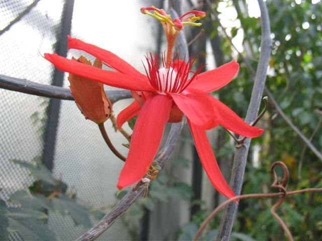 Passiflora du Jardin Bota. Jardi142