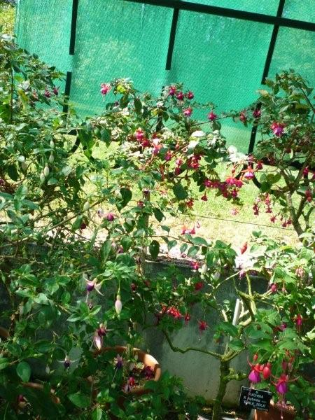 Fuchsia du Jardin Bota . Jardi178