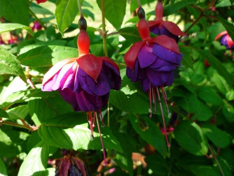 Fuchsia du Jardin Bota . Jardi179