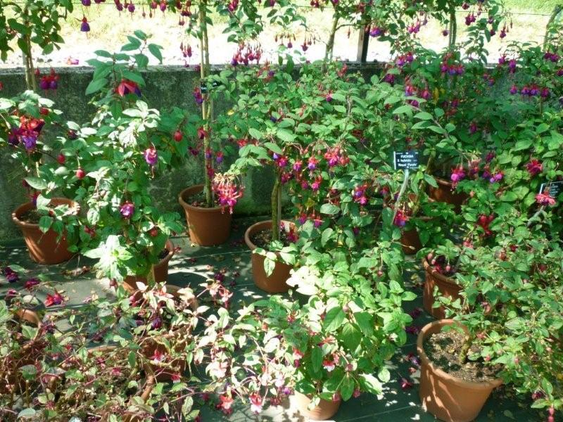Fuchsia du Jardin Bota . Jardi181