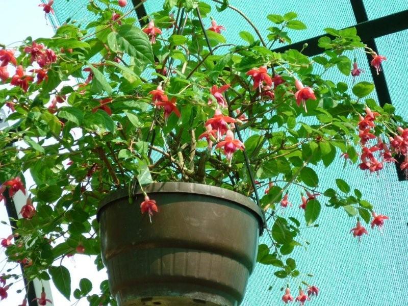 Fuchsia du Jardin Bota . Jardi183