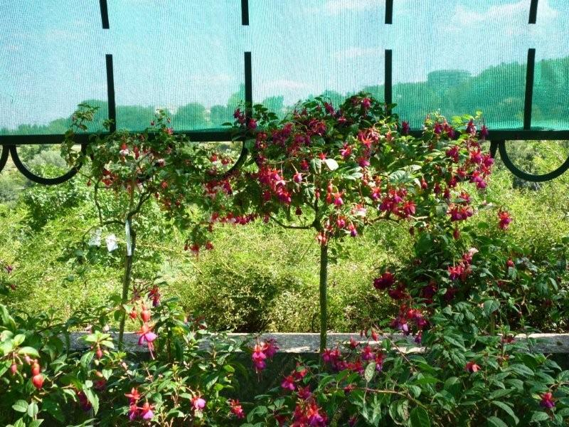 Fuchsia du Jardin Bota . Jardi184
