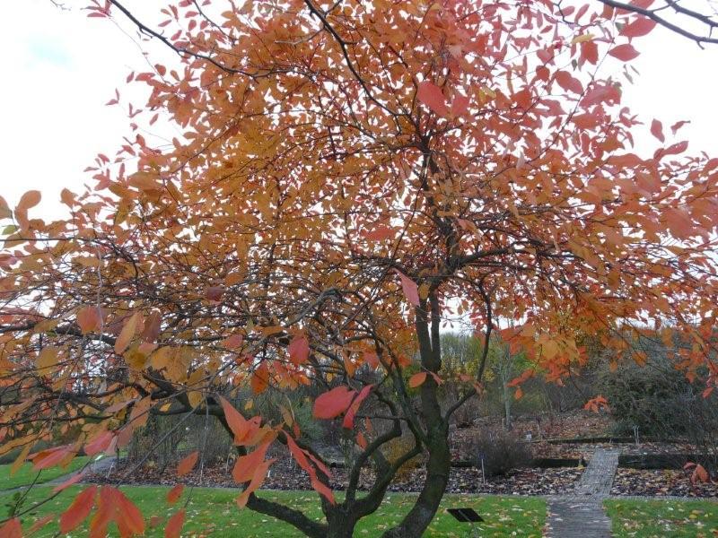 Famille de l'arbre aux mouchoirs Jardi232