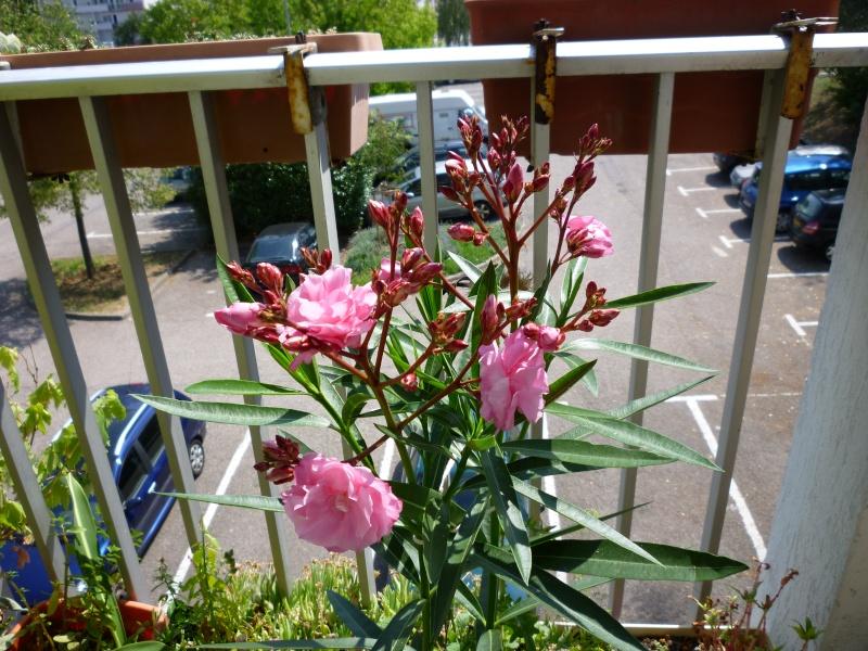 Les premières fleurs de mon balcon Laurie10