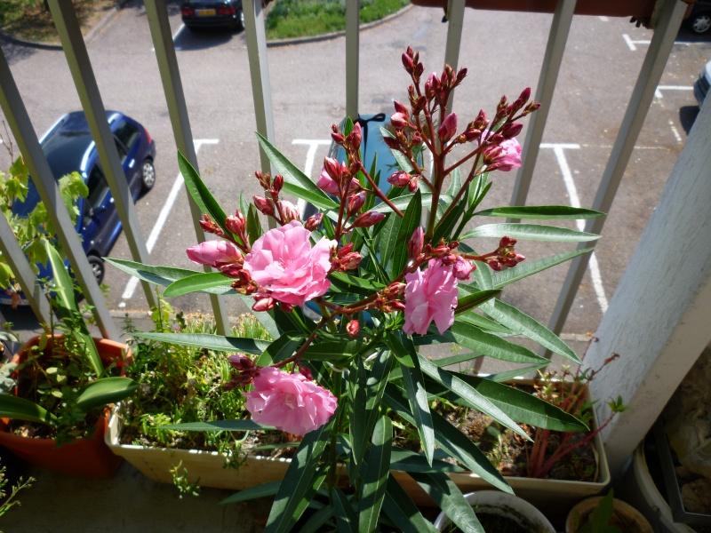 Les premières fleurs de mon balcon Laurie11