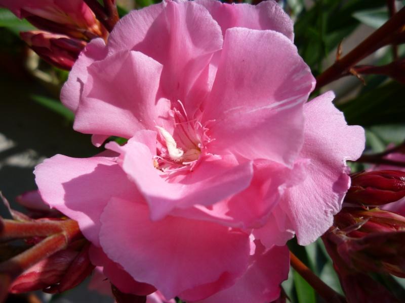 Les premières fleurs de mon balcon Laurie12