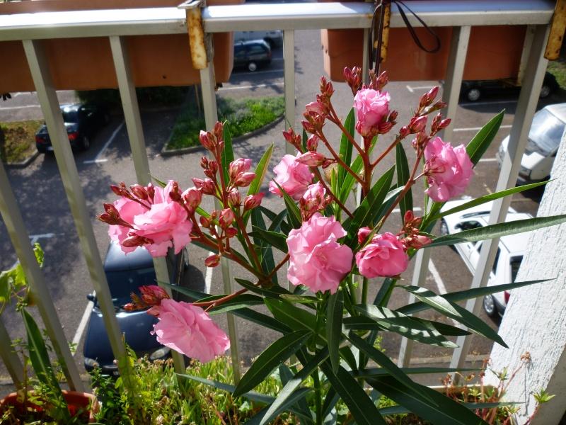 Les premières fleurs de mon balcon Laurie16