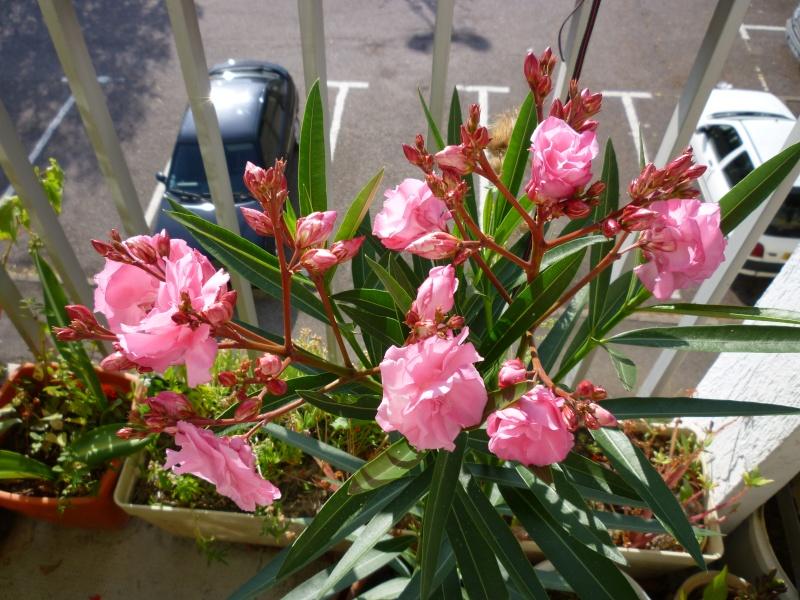 Les premières fleurs de mon balcon Laurie17