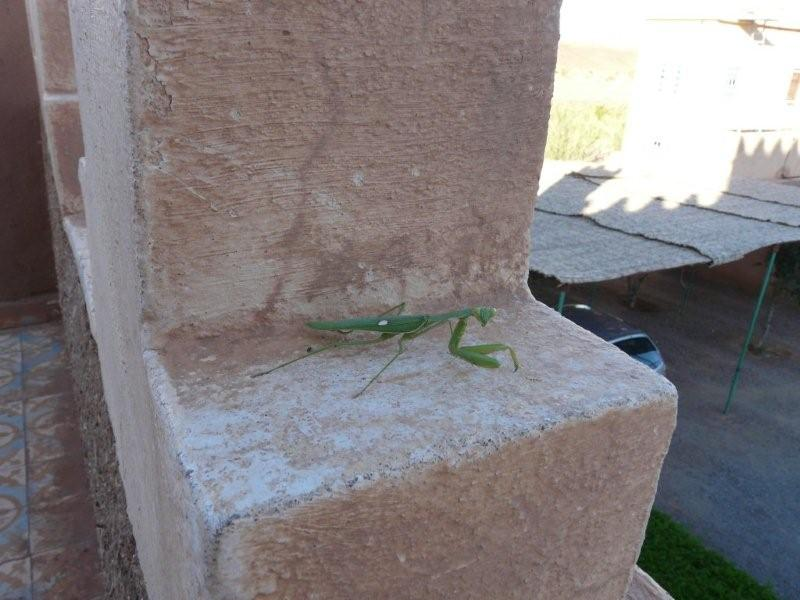 [Sphodromantis viridis] Droit du Maroc de mon amie Noëlle Maroc_10