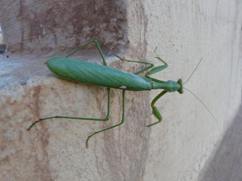 [Sphodromantis viridis] Droit du Maroc de mon amie Noëlle Maroc_11