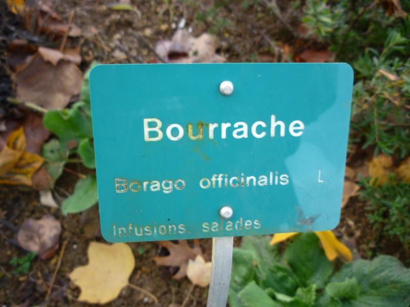 Bourrache Vend_213