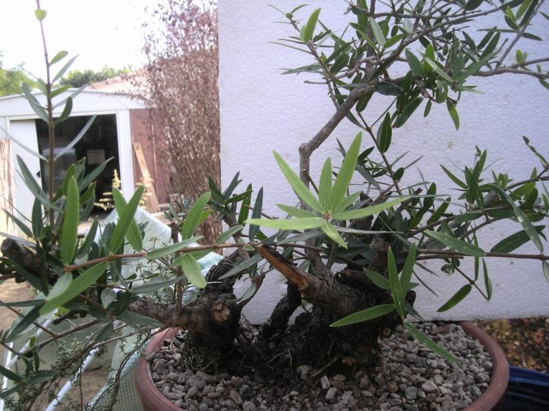 Filaire à feuilles étroites Filair10