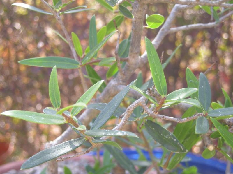 Filaire à feuilles étroites Filair13