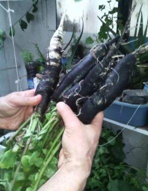 radis noirs  et conserves  Radis_10