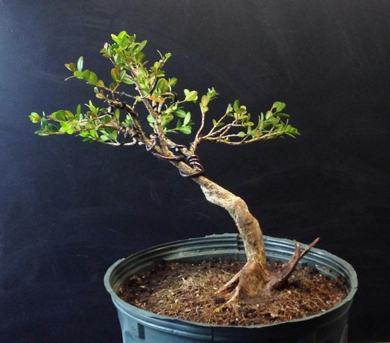 Buxus sempervirens B_semp10