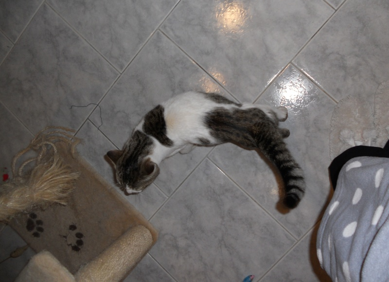 Milo tigré et blanc, adorable pot de colle à Niort Dscn4810